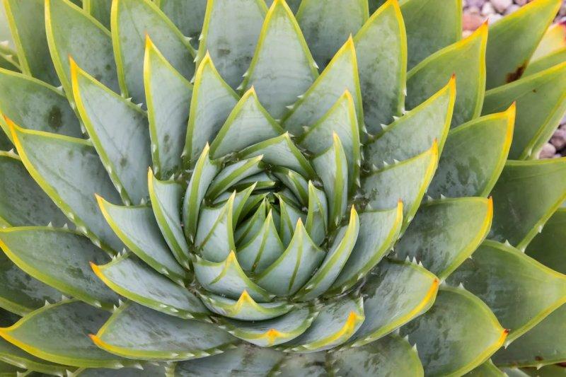 Lô hội xoắn ốc (Aloe polyphylla) chụp từ trên cao.