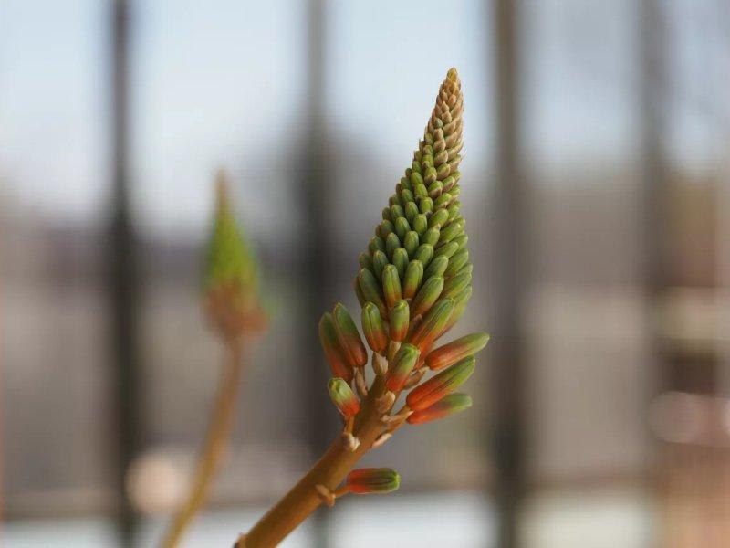 Ảnh chụp cận cảnh bông hoa lô hội xoắn ốc (Aloe polyphylla) sắp nở.