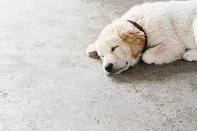 Ảnh minh họa một chú chó nằm trên sàn bê tông