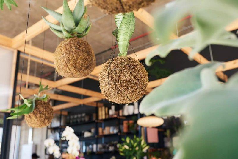 Quả bóng rêu Kokedama với cây treo trên trần cửa hàng hoa.