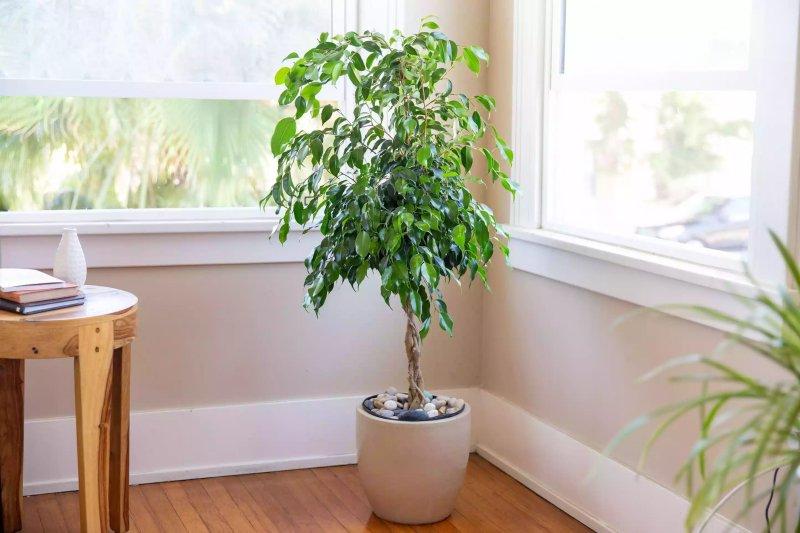 Cây Canh sanh - Weeping Fig (Ficus benjamina)