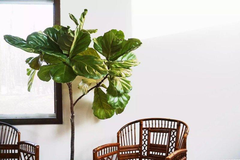 Cây Fiddle Leaf Fig (Ficus lyrata)