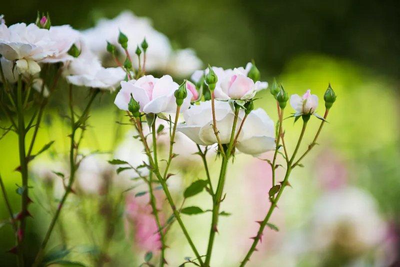 Bón phân cho hoa hồng như thế nào và khi nào nên bón