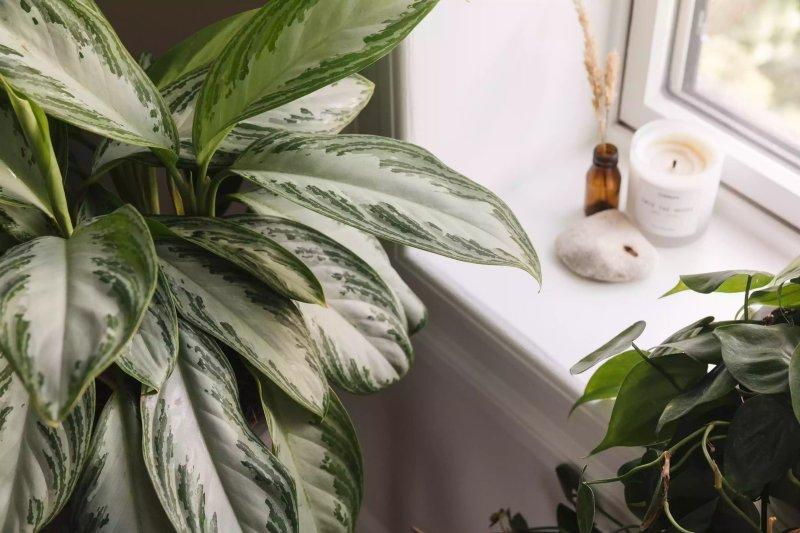 Vị trí của cây trồng trong nhà gần cửa sổ The Spruce / Letícia Almeida