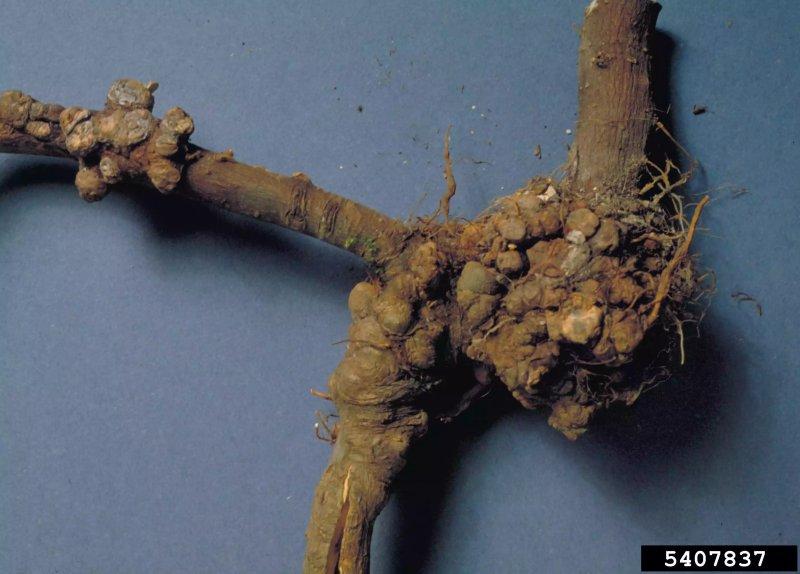 4. Bệnh sùi cành Crown Gall trên hoa hồng (trên ảnh là cây táo cùng họ hoa hồng). Photo: Cheryl Kaiser, University of Kentucky, Bugwood.org