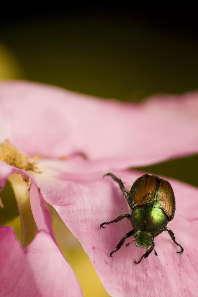 5. Bọ cánh cứng Nhật Bản trên hoa hồng. Box5 / Getty Images