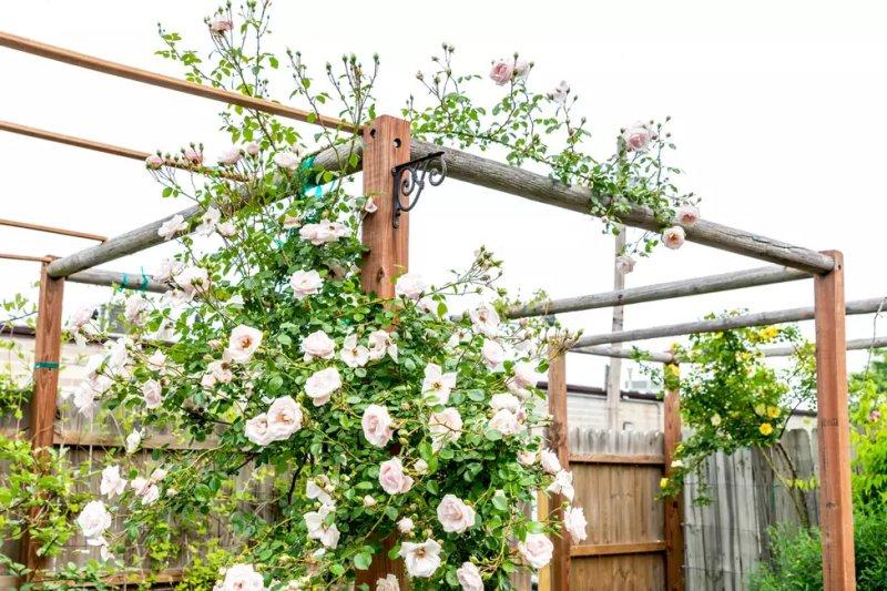 Hoa hồng leo bụi theo đường mòn trên giá đỡ cấu trúc thẳng đứng với hoa trắng