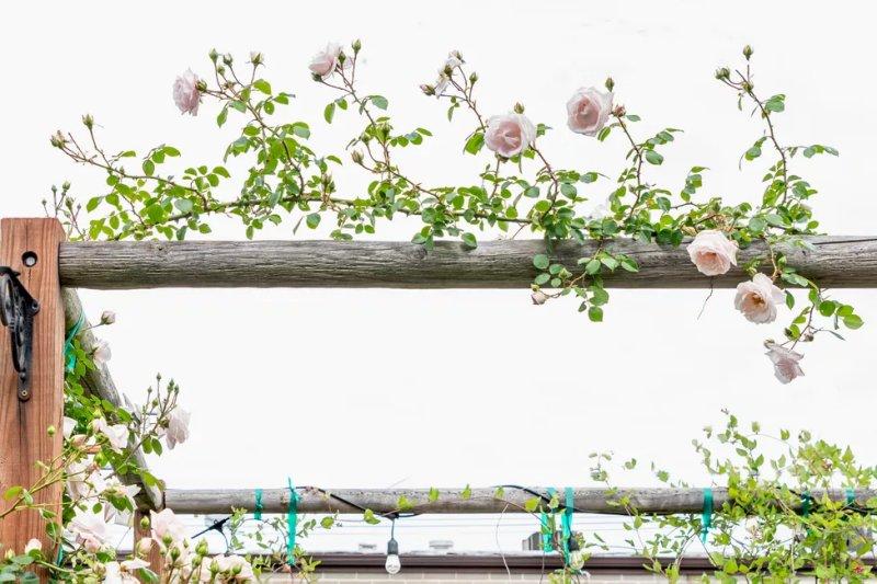 Cây bụi hoa hồng khỏe mạnh uốn cong trên giá đỡ giàn nằm ngang