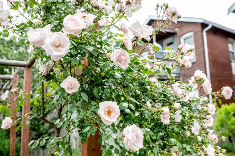 Cây hoa hồng leo với những bông hoa lớn màu trắng được gắn vào giàn hoa bằng gỗ