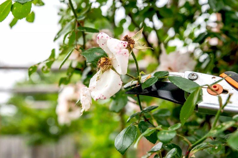 Hoa hồng leo thân bụi hoa trắng được cắt tỉa bằng kéo cắt cây