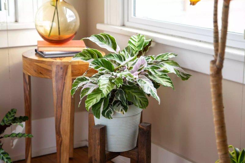 Cách trồng và chăm sóc cây Calathea White Fusion