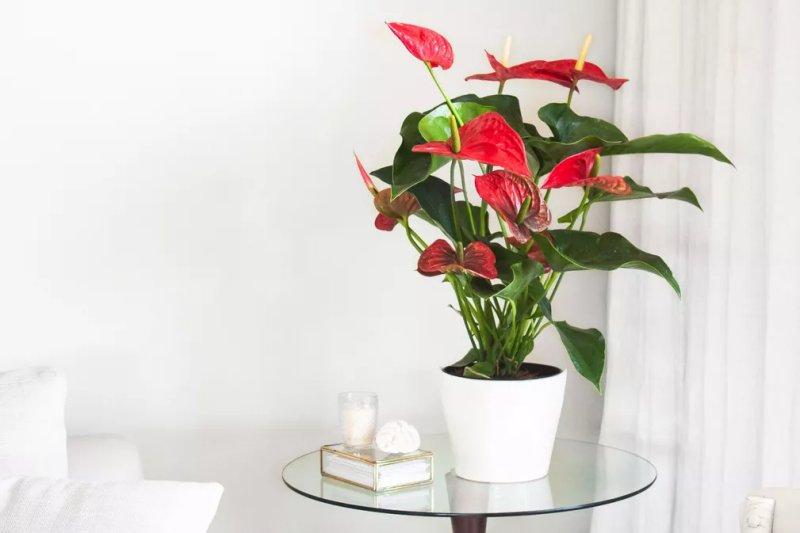 12. Cây chi Hồng môn – Anthurium (Anthurnium spp)