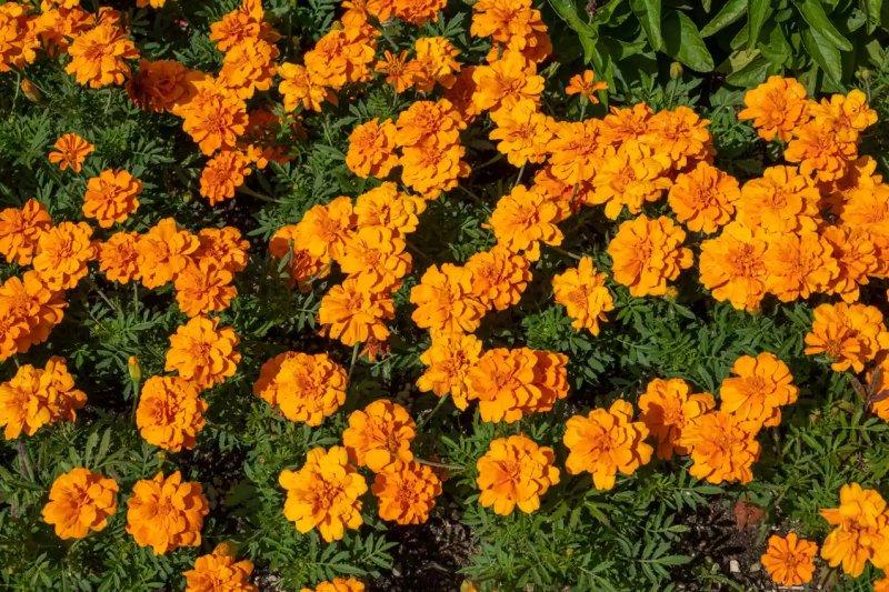 4. Cây cúc vạn thọ - Marigold