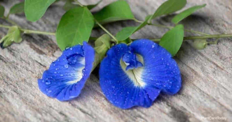 Hoa màu xanh tím của cây đậu biếc Clitoria ternatea