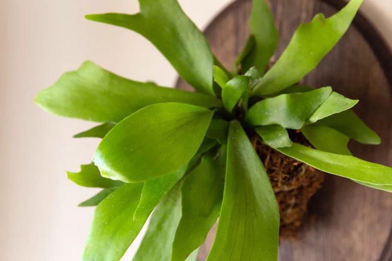 5. Cây dương xỉ – Staghorn Fern (Platycerium bifurcatum)