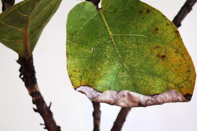 Lá cây cây bàng Singapore Ficus lyrata bị đốm và héo. The Spruce / Corinne Bryson