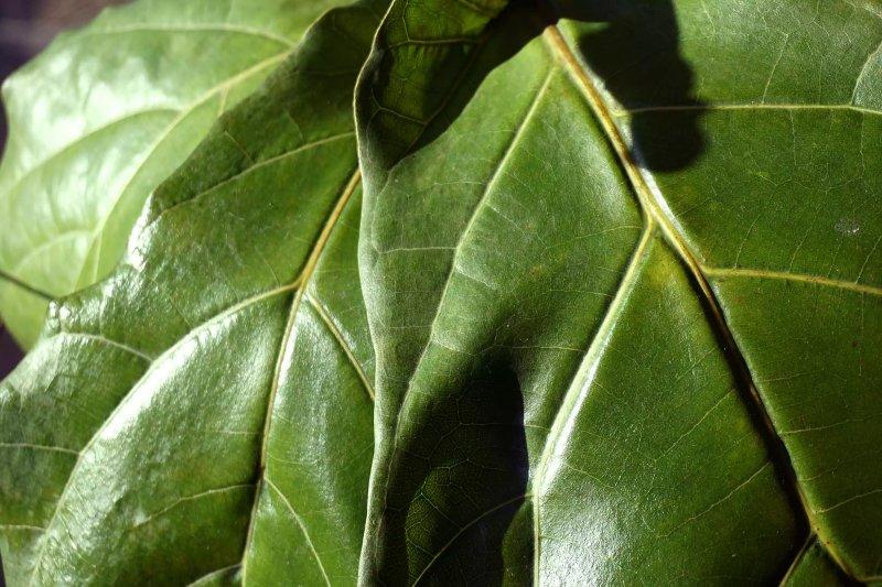 Ảnh chụp cận cảnh lá của cây bàng Singapore Ficus lyrata. The Spruce / Corinne Bryson