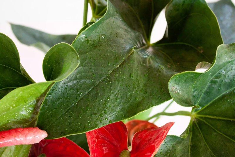 Ảnh một chiếc lá màu xanh của cây hồng môn. The Spruce / Letícia Almeida