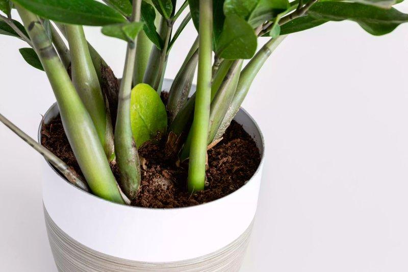 Hình ảnh gốc cây kim tiền được trồng trong chậu. The Spruce / Anastasiia Tretiak
