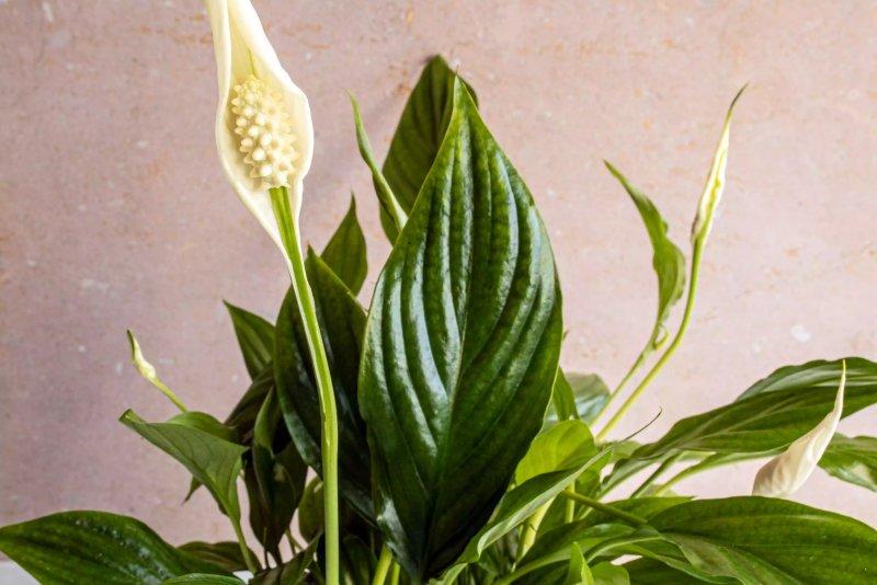 Hoa màu trắng của cây lan ý.  The Spruce / Cara Cormack