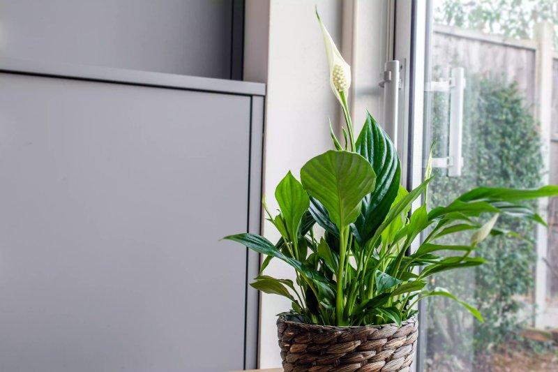 Một chậu cây lan ý bên cửa sổ.  The Spruce / Cara Cormack