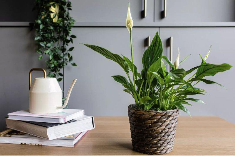8. Cây lan ý – Peace Lily (Spathiphyllum)