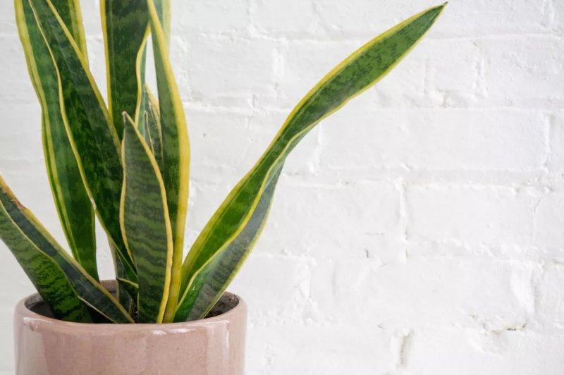 4. Cây lưỡi hổ – Snake Plant