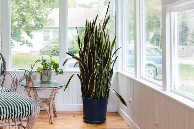 Một chậu cây lưỡi hổ phát triển tốt trong phòng khách nhiều ánh sáng. The Spruce / Candace Madonna