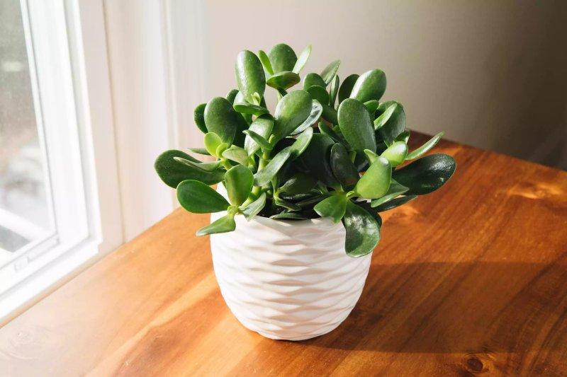Cây ngọc bích (Crassula ovata)