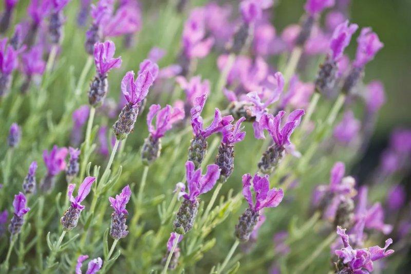 6. Cây oải hương - Lavender