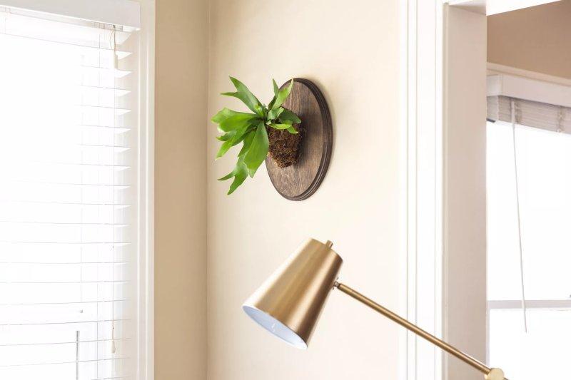Cây dương xỉ Staghorn Fern (Platycerium bifurcatum) được treo trên tường