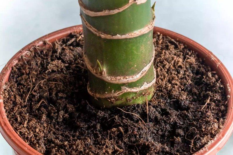 Ảnh chụp thân cây thiết mộc la và đất trồng trong chậu.  The Spruce / Cara Cormack