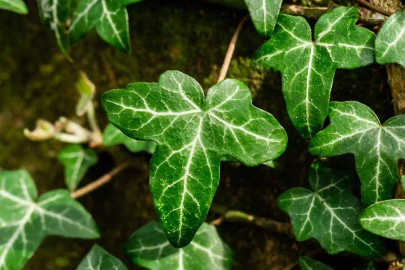 Ảnh chụp lá cây thường xuân.  The Spruce / Cara Cormack