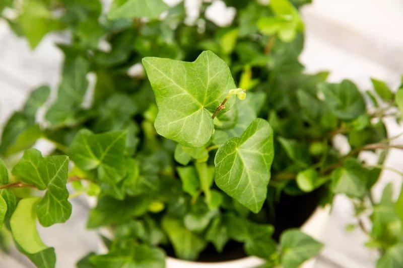 6. Cây thường xuân Anh – English Ivy (Hedera helix)
