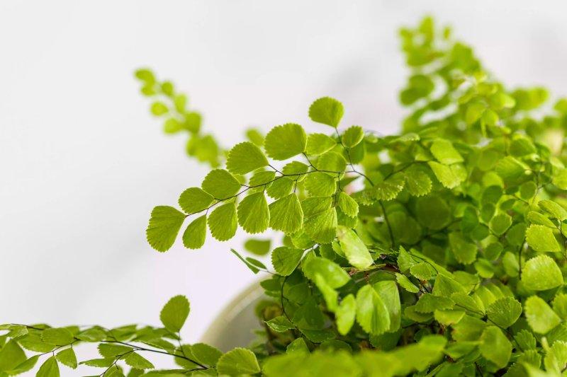 Cận cảnh những cành lá của cây tóc thần vệ nữ.  The Spruce / Anastasiia Tretiak