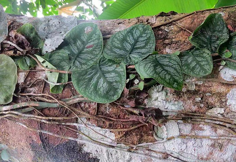 Cách trồng và chăm cóc cây trầu bà Monstera Dubia