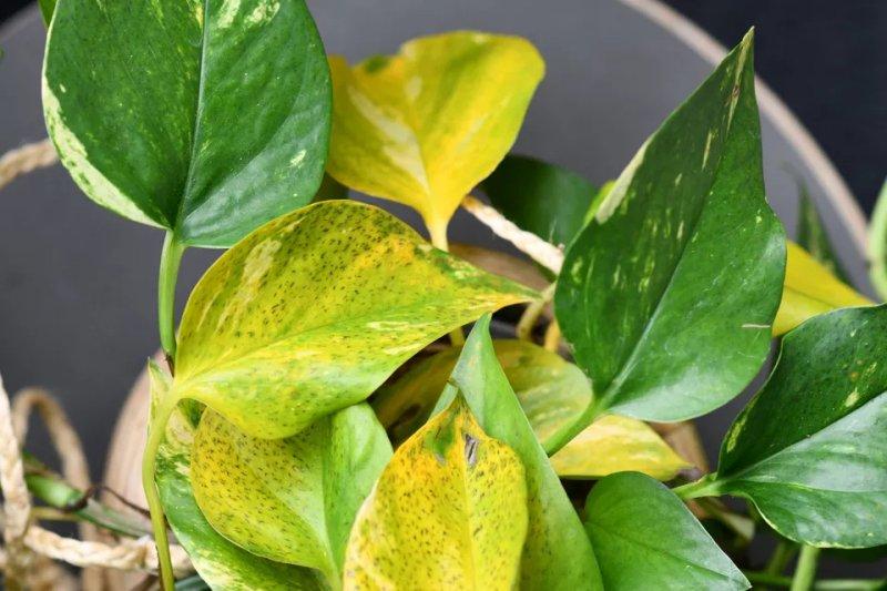 Hình ảnh cây trầu bà bị vàng lá. Firn / iStock / Getty Images Plus