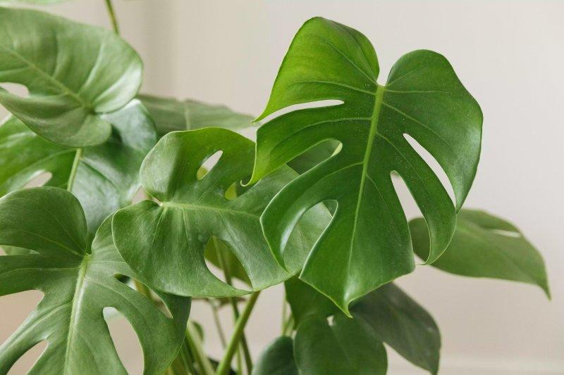 Ảnh chụp phần lá trưởng thành của cây trầu bà lá xẻ Monstera Deliciosa trồng trong nhà