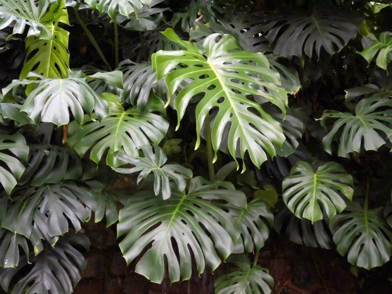 cây trầu bà lá xẻ Monstera Deliciosa ngoài tự nhiên