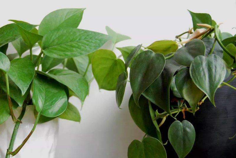 Cây trầu bà vàng Pothos và Philodendron: Sự khác biệt là gì?