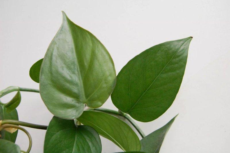 So sánh cạnh nhau của một chiếc lá philodendron hình trái tim và một chiếc lá pothos gần thẳng hơn.Spruce / Cori Sears