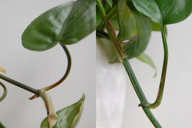 Một cây philodendron (trái) bên cạnh một ổ pothos (phải). Spruce / Cori Sears