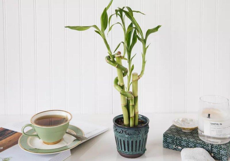 Cách trồng và tạo hình cây trúc phát tài. Hình minh họa: The Spruce / Chloe Giroux