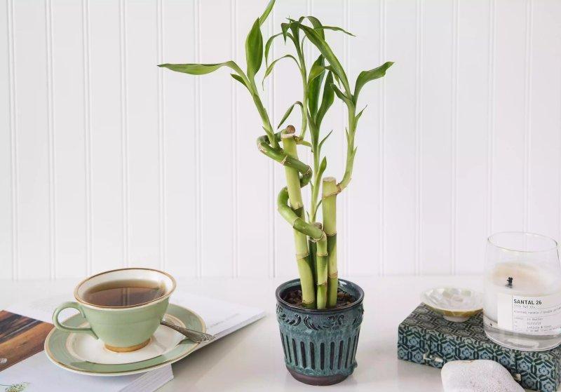 1. Cây trúc phát tài – Lucky Bamboo