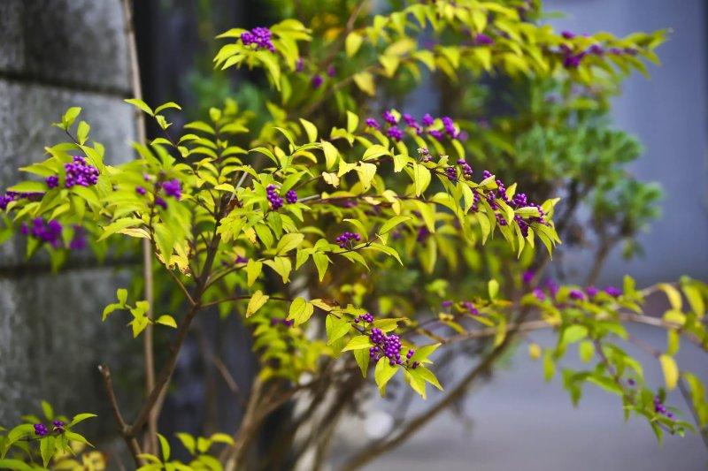 Cách trồng cây tử châu Beautyberry cay tu chau beautyberry 1