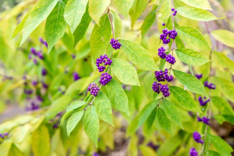 Cách trồng cây tử châu Beautyberry