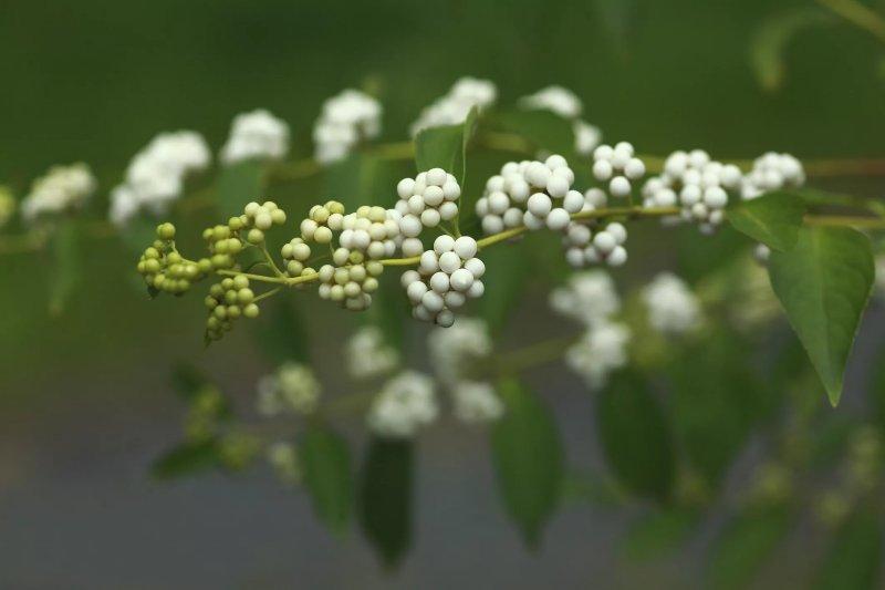 Cách trồng cây tử châu Beautyberry cay tu chau beautyberry 4
