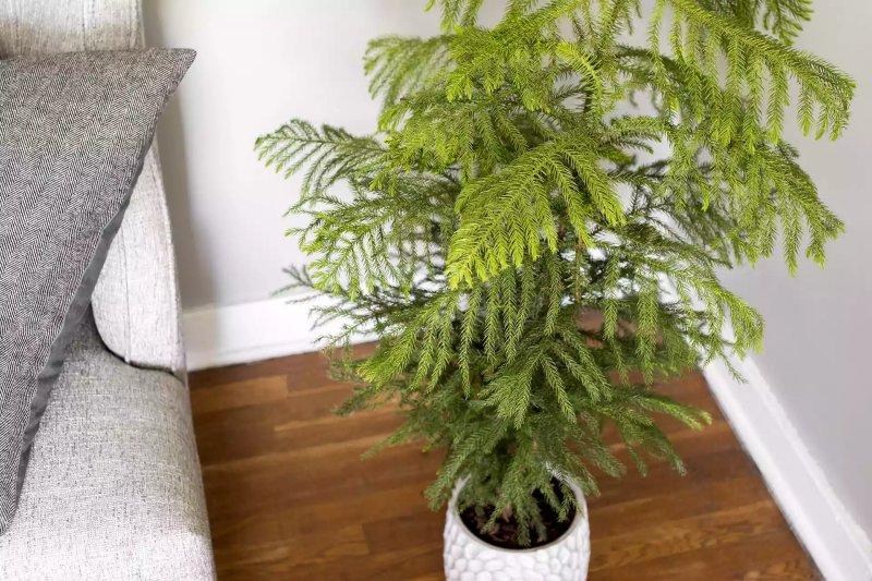 Cây tùng bách tán - Norfolk Island Pine (Araucaria heterophylla)