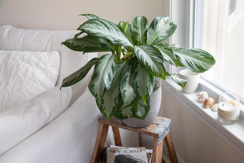 13. Cây vạn niên thanh – Chinese Evergreen (Aglaonema substitutetum)