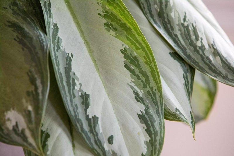 Cận cảnh một chiếc lá của cây vạn niên thanh.  Leticia Almeida / The Spruce